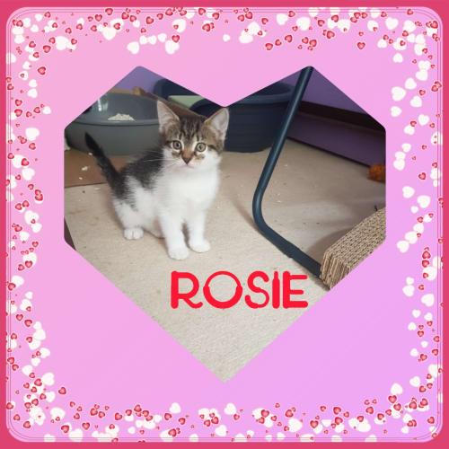 Rosie ❤ - Domestic Short Hair Cat