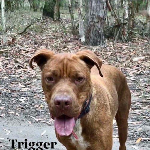 Trigger  - Rhodesian Ridgeback Dog
