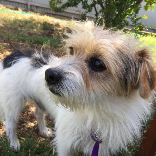 Russ - Jack Russell Terrier x Fox Terrier Dog
