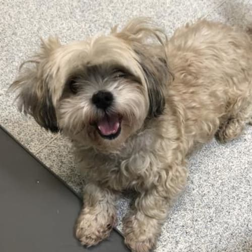 Pebbles   (Bonded Pair)931872 - Maltese x Shih Tzu Dog