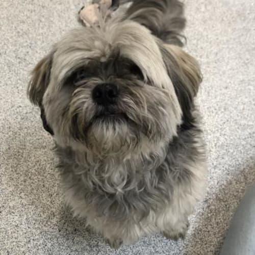 Oscar   (Bonded Pair)  931871 - Maltese x Shih Tzu Dog