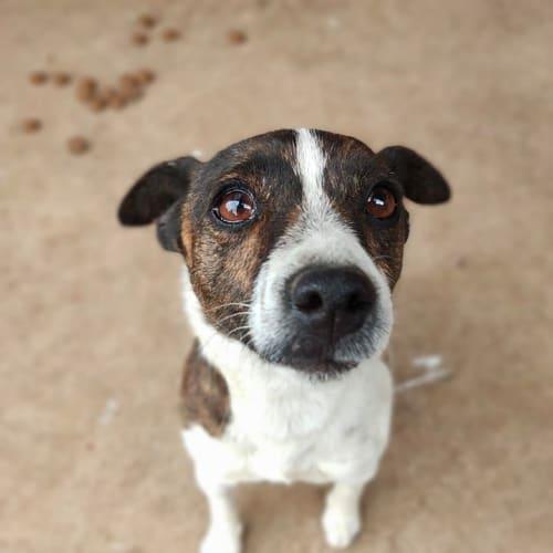 Poppy - Jack Russell Terrier x Miniature Fox Terrier Dog