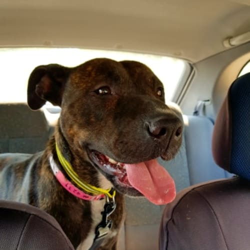 Alexis - American Staffordshire Terrier Dog