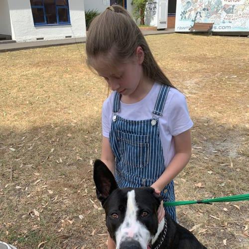 Duke - Great Dane x Border Collie Dog
