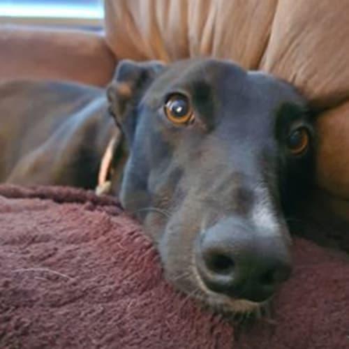 Summer - Greyhound Dog