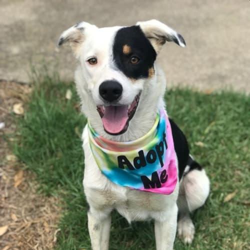 Coleman - Kelpie Dog