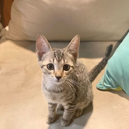 Lucy - Domestic Short Hair Cat
