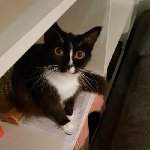 Emmie  - Domestic Medium Hair Cat