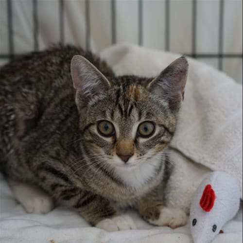 Jelly - Domestic Short Hair Cat