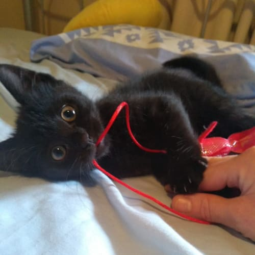 Georgie of Willoughby - Domestic Medium Hair Cat