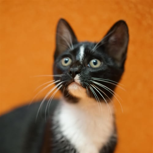 Eclipse - Domestic Short Hair Cat