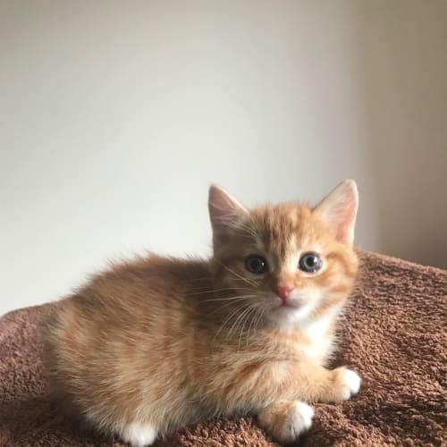 Coraline - Domestic Short Hair Cat