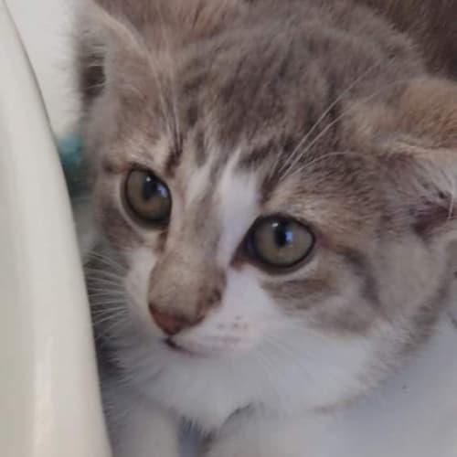 Zara - Domestic Medium Hair Cat