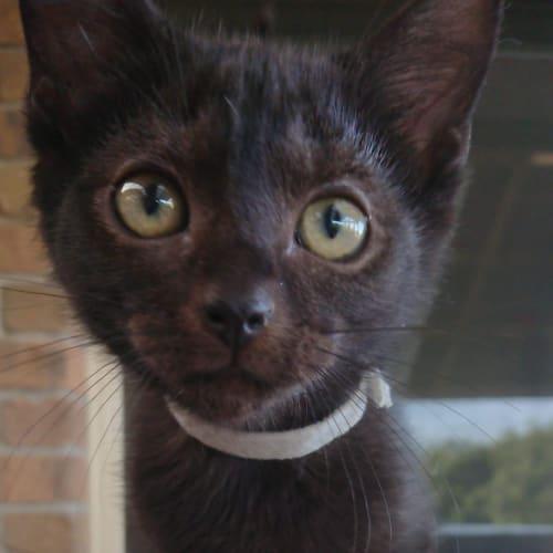 Berry - Domestic Short Hair Cat