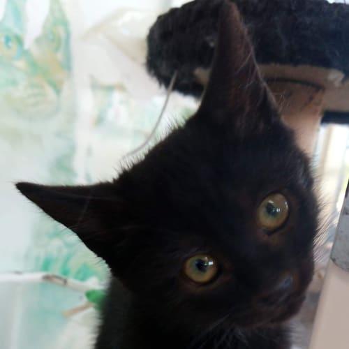 Goji (Berry) - Domestic Short Hair Cat