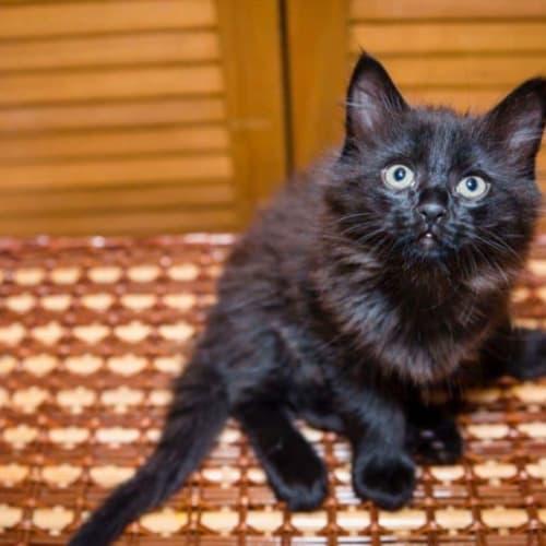 1735 – Milo - Domestic Medium Hair Cat