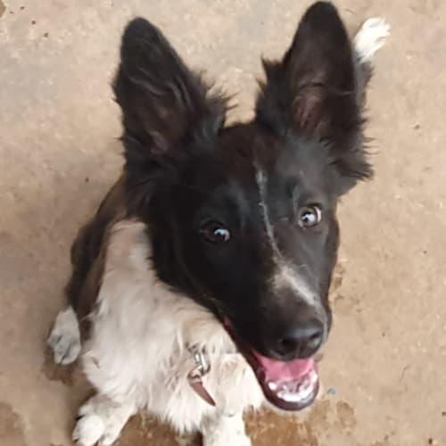 Gemma - Border Collie Dog