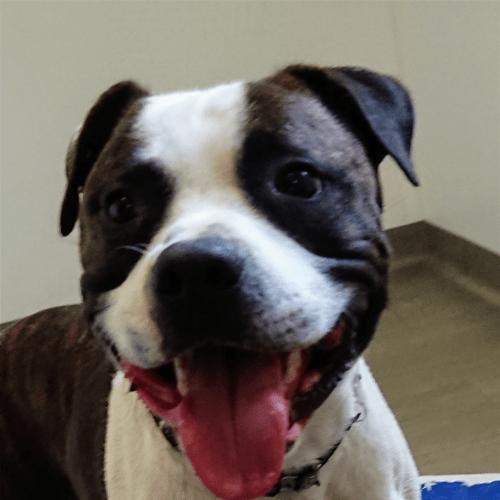 Spud - American Staffordshire Bull Terrier Dog