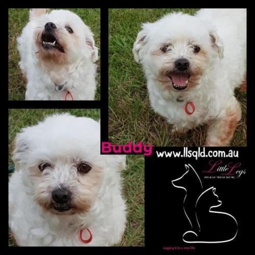 Buddy - Maltese x Shih Tzu Dog