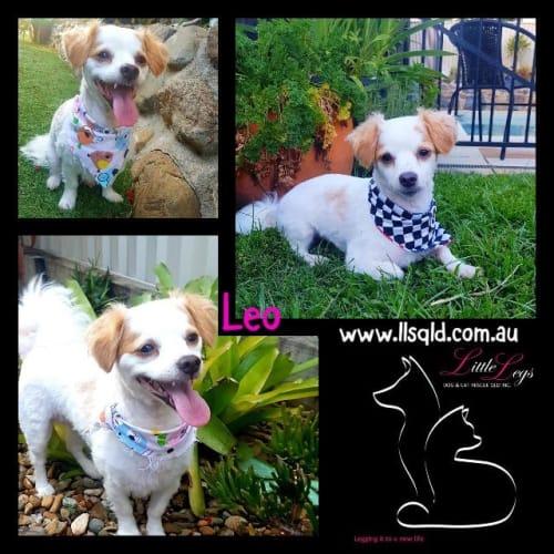 Leo - Maltese x Mixed Breed Dog