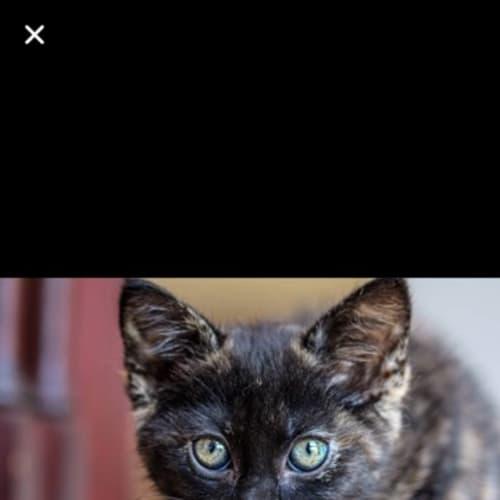 Selena - Domestic Short Hair Cat