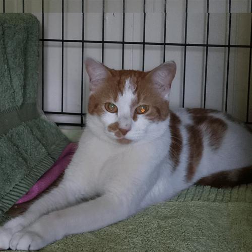 Colin - Domestic Short Hair Cat