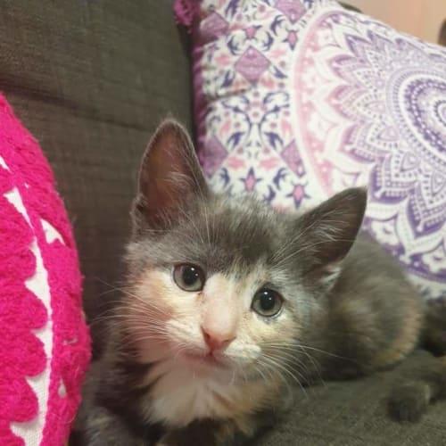 Gypsy 💖 - Domestic Short Hair Cat