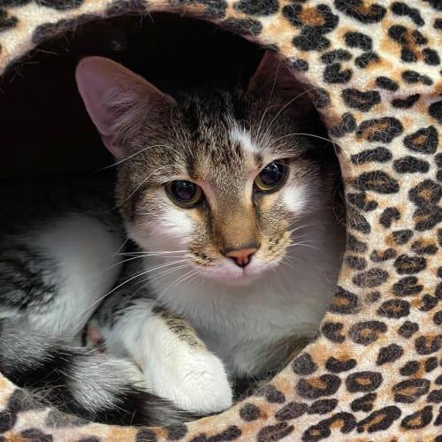 Chestnut - Domestic Short Hair Cat