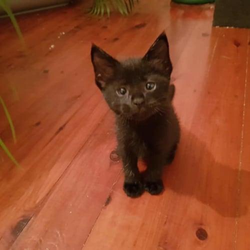 Quokka - Domestic Short Hair Cat