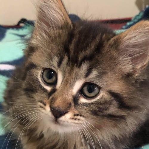 Churro - Domestic Medium Hair Cat