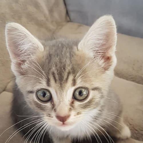 Sonny - Domestic Short Hair Cat