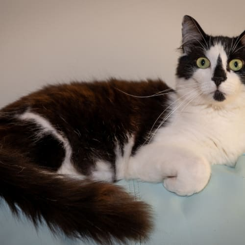 1226 - Shelby - Domestic Medium Hair Cat