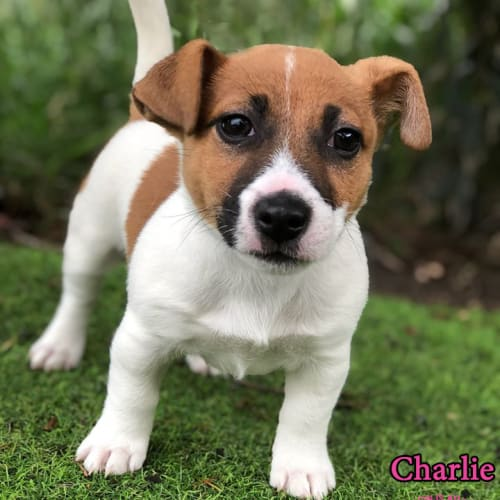 Charlie - Jack Russell Terrier Dog