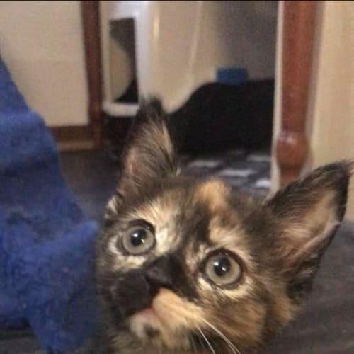 Taco - Domestic Short Hair Cat