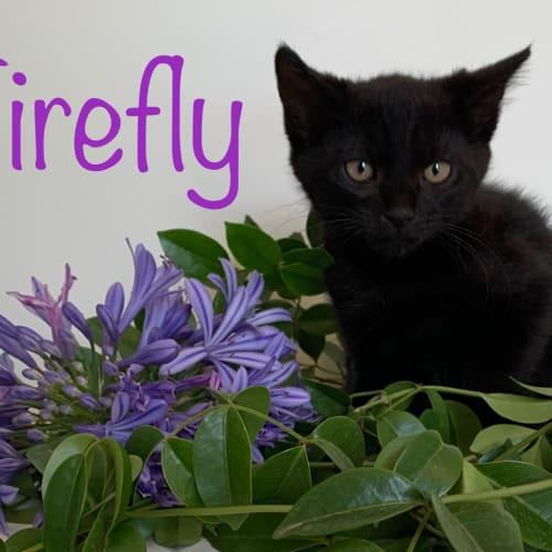 Enchanted Garden Rescue Kittens - Domestic Short Hair Cat