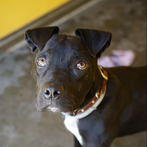 Gabby - American Staffordshire Bull Terrier Dog