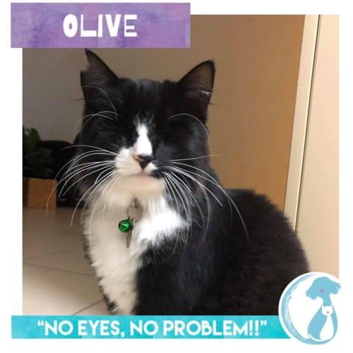 Olive - Cymric Cat