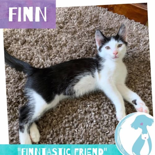 Finn - Domestic Short Hair Cat