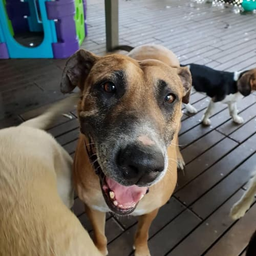 Meg - Irish Wolfhound x Rhodesian Ridgeback Dog