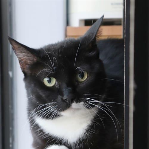 Hashbrown - Domestic Short Hair Cat