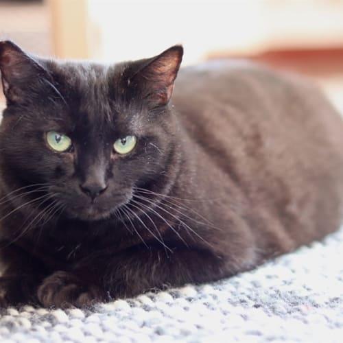 Kizzi/ Belle - Domestic Short Hair Cat