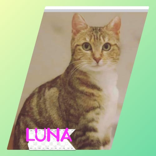 Luna ❤ - Domestic Short Hair Cat