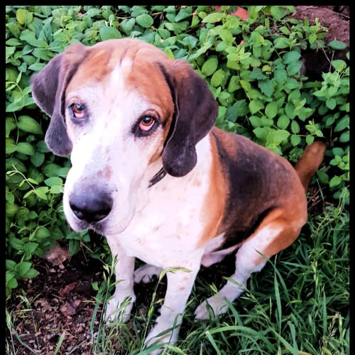 Otis - Foxhound Dog