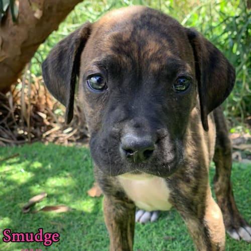 Smudge - Boxer Dog