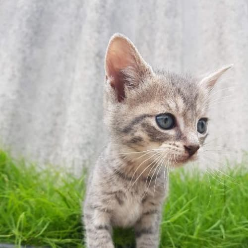 Grey - Domestic Short Hair Cat