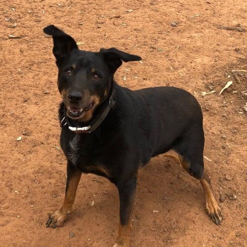 Kimba - Kelpie Dog