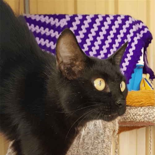 Tiani - Domestic Short Hair Cat