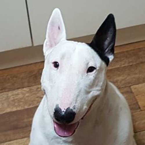 Shelley - Bull Terrier Dog