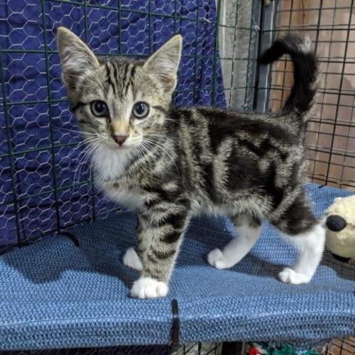 Ulysses - Domestic Short Hair Cat