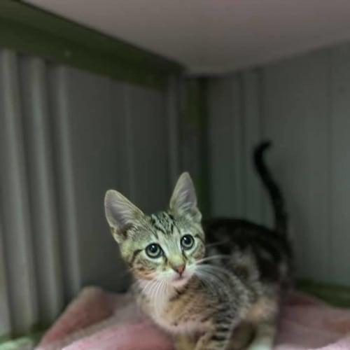 Scout - Domestic Short Hair Cat
